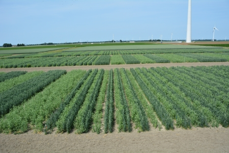 Wheat-pea trial, the Netherlands