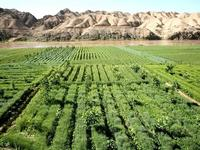 china intercropping 1 gansu