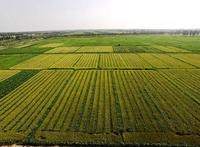 china intercropping 3 wheat maize Ningxia