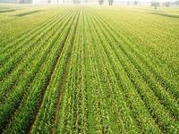 china intercropping 4 peanut maize