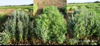 intercropping wp2 1