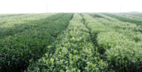intercropping wp2 2