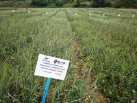 intia intercropping spain 2
